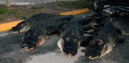4 alligators from hell n blazes Florida